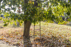 Ladder and tree Royalty Free Stock Images