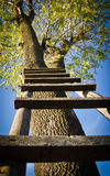 Ladder on a tree. Tall ladder resting on a tree photographed from below Stock Photos