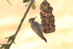 Ladderback Woodpecker (Picoides scalaris) Royalty Free Stock Image
