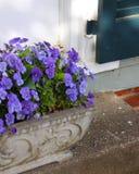 Lade in purpurfärgade Pansies ljusnar entrancewayen royaltyfri fotografi