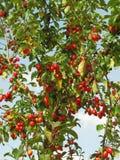 Laden Crab Apple Tree Stock Photo