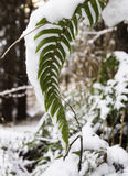 Laden Frond. Graceful drooping fern weighted down with snow in the Pacific Northwest Royalty Free Stock Photo