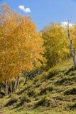 ladera y abedul blanco en el otoño Imágenes de archivo libres de regalías