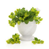Ladies Mantle Herb Flowers. Ladies mantle herb flower sprigs in a marble mortar with pestle with scattered flowers over white background. Alchemilla Royalty Free Stock Photography