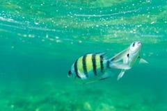 Lado amarillo de los pescados de mar fotografía de archivo