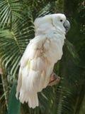 Lado blanco de la cacatúa Fotografía de archivo