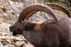 Lado-cara de un cabra montés alpino masculino foto de archivo libre de regalías