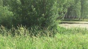 Lado coberto de vegetação da lagoa video estoque
