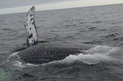 Lado da baleia de Humpback Fotos de Stock
