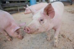 Lado de bacon Imagem de Stock