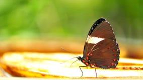 Lado de baixo da borboleta azul iridescente Imagem de Stock Royalty Free