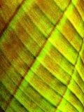 Lado de baixo da folha da banana Foto de Stock