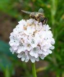 Lado de la abeja en la flor blanca Fotos de archivo libres de regalías