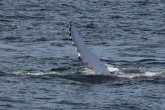 Lado de la ballena jorobada con las aletas Imagen de archivo libre de regalías