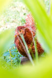 Lado de la cabeza de la gallina del pollo Imagen de archivo libre de regalías