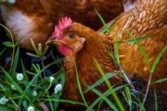 Lado de la cabeza de la gallina del pollo Fotos de archivo libres de regalías
