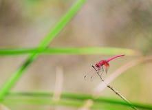 Lado de la libélula rosada Imagen de archivo libre de regalías