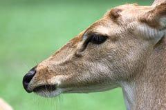 Lado de los ciervos principales. Foto de archivo libre de regalías