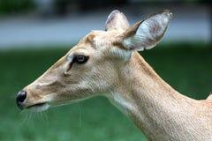 Lado de los ciervos principales. Imágenes de archivo libres de regalías