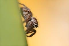 Lado de salto da aranha horizontalmente foto de stock