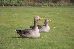 Lado de sentarse de los gansos de ganso silvestre Fotos de archivo libres de regalías