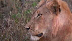 Lado de una cabeza de los leones almacen de video