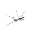 Lado del aegyti del aedes de la especie del mosquito Fotos de archivo