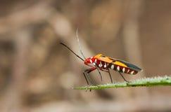 Lado del escarabajo rojo en la hoja que mira abajo Fotografía de archivo