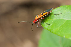 Lado del escarabajo rojo en la hoja que mira abajo Imágenes de archivo libres de regalías