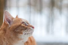 Lado del fondo de Ginger Cat Looking Something With Nature Vista lateral de Ginger Cat Looking Forward foto de archivo libre de regalías