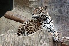 Lado del leopardo. Fotos de archivo