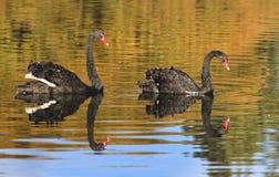 Lado del negro 2 de los cisnes Foto de archivo