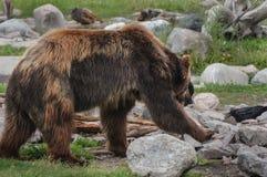 Lado del oso grizzly en el forraje en rocas e hierba Imagen de archivo