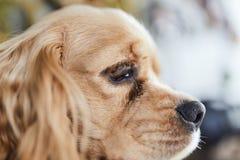 Lado del perrito de cocker spaniel del americano fotografía de archivo libre de regalías
