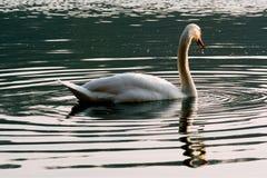 Lado del verde de Italia del pequeño cisne blanco Fotos de archivo libres de regalías
