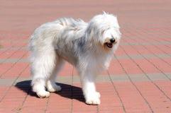 Lado direito do cão pastor sul do russo foto de stock