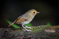 Lado direito do papa-moscas Rufous-sobrancelhudo (solitaris de Ficedula) fotos de stock