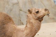 Lado do camelo Imagem de Stock