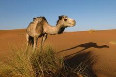 Lado do camelo com sombra na terra, Marrocos Imagem de Stock