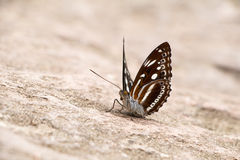Lado do close up da borboleta Foto de Stock