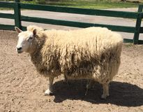 Lado dos carneiros Fotos de Stock