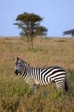 Lado ereto da zebra sobre na grama Imagens de Stock Royalty Free
