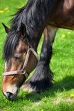 Lado próximo acima de um cavalo marrom Imagem de Stock
