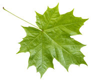 Lado traseiro da folha de bordo verde fresca isolada Fotografia de Stock Royalty Free