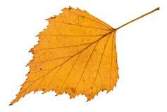 lado trasero de la hoja amarilla caida del árbol de abedul Imágenes de archivo libres de regalías