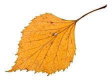 lado trasero de la hoja amarilla holey del otoño del abedul Imagenes de archivo