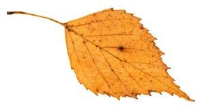 lado trasero de la hoja caida vieja del árbol de abedul Foto de archivo libre de regalías
