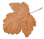 lado trasero de la hoja secada del árbol del viburnum aislada Foto de archivo