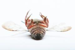 Lado trasero de una abeja negra Imagenes de archivo