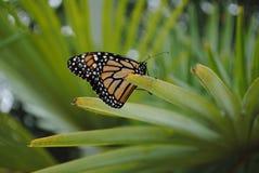 Lado Veiw de la mariposa de monarca en la planta imágenes de archivo libres de regalías
